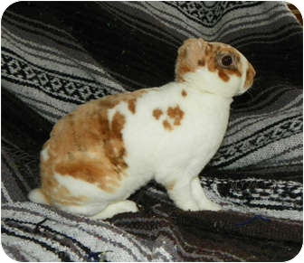 Mini Rex for adoption in North Gower, Ontario - Quinn