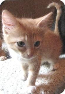 Domestic Shorthair Kitten for adoption in Schertz, Texas - Moe