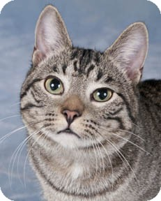 Domestic Shorthair Cat for adoption in Chicago, Illinois - Morgan