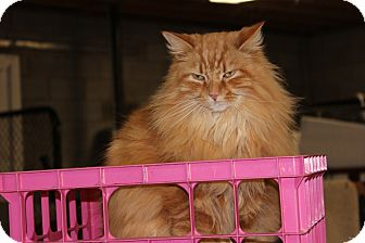 Domestic Longhair Cat for adoption in Maxwelton, West Virginia - Pratt