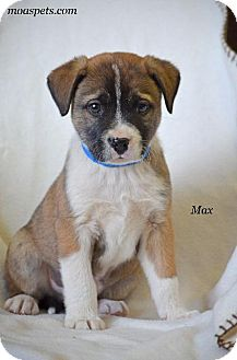 Terrier (Unknown Type, Small)/Boston Terrier Mix Dog for adoption in Danielsville, Georgia - Max
