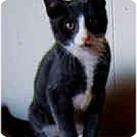 Adopt A Pet :: 1 Gizmo - Dallas, TX