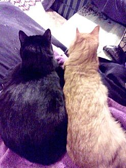 Bombay Cat for adoption in Brooklyn, New York - Midnight & Rusty