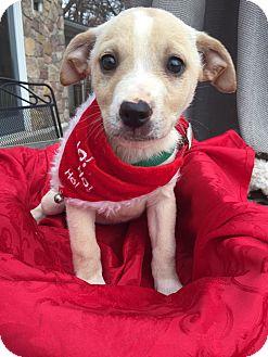 Labrador Retriever/Husky Mix Puppy for adoption in White Lake, Michigan - Ingrid