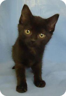 Domestic Shorthair Kitten for adoption in Larned, Kansas - Agnes