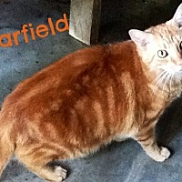 Domestic Shorthair Cat for adoption in Ocean View, New Jersey - Garfield