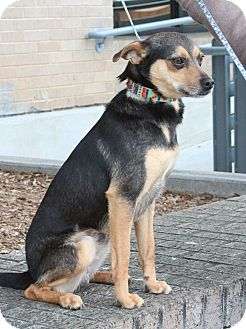 Chihuahua/Terrier (Unknown Type, Small) Mix Dog for adoption in Marble Falls, Texas - Michael