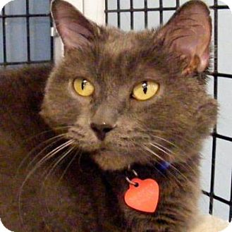 Domestic Shorthair Cat for adoption in Denver, Colorado - Smokey