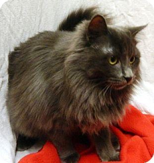 Domestic Longhair Cat for adoption in Columbus, Nebraska - Reign