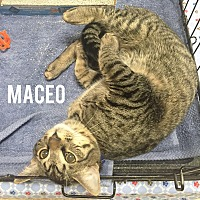 Domestic Shorthair Cat for adoption in Arlington/Ft Worth, Texas - Maceo