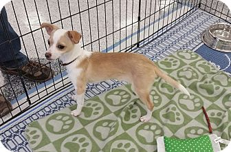 Italian Greyhound/Chihuahua Mix Puppy for adoption in Phoenix, Arizona - Oliver