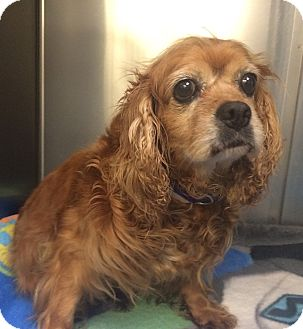 Cavalier King Charles Spaniel Dog for adoption in Oak Ridge, New Jersey - Ulla