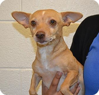 Chihuahua Mix Dog for adoption in Miami, Florida - Pookie