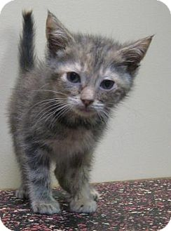 Domestic Shorthair Kitten for adoption in Gary, Indiana - Bell