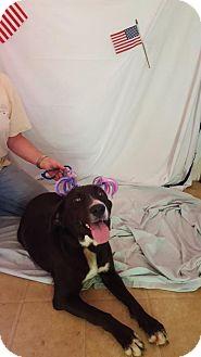 Labrador Retriever/Pointer Mix Dog for adoption in Lebanon, Maine - Dakota-LOCAL