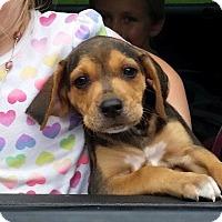 Adopt A Pet :: Daisy Duke - Gainesville, FL