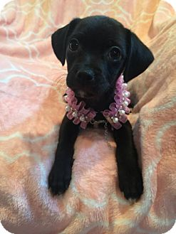 Chihuahua/Terrier (Unknown Type, Medium) Mix Puppy for adoption in South San Francisco, California - Francesca