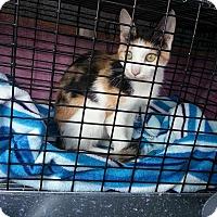 Adopt A Pet :: Cally - Prospect, CT