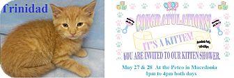 Domestic Shorthair Kitten for adoption in Northfield, Ohio - TRINIDAD