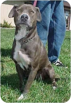 Pit Bull Terrier Mix Dog for adoption in North Judson, Indiana - Houdina