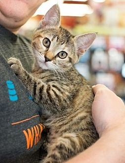 Domestic Mediumhair Kitten for adoption in Fremont, California - Bonnie