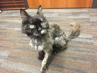 Domestic Longhair/Domestic Shorthair Mix Cat for adoption in San Antonio, Texas - Precious