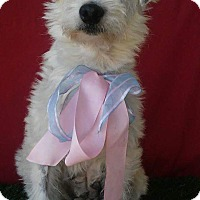 Terrier (Unknown Type, Small)/Poodle (Miniature) Mix Dog for adoption in San Diego, California - BUBBA