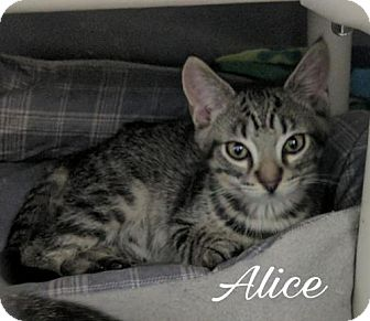 Domestic Shorthair Cat for adoption in Island Heights, New Jersey - Alice