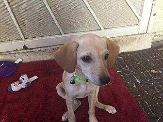 Labrador Retriever Mix Puppy for adoption in Chandler, Arizona - PUPPY 1 Blonde