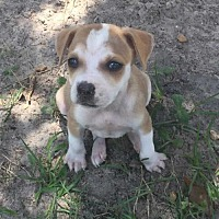 Adopt A Pet :: Owen Curr - Tampa, FL