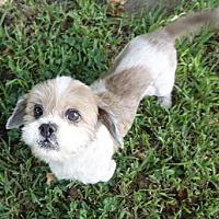 Adopt A Pet :: Coco Girl - Davie, FL