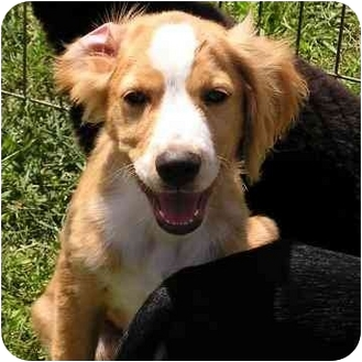Nova Scotia Duck-Tolling Retriever/Cocker Spaniel Mix Puppy for adoption in Brodheadsville, Pennsylvania - Dutch