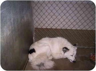 Australian Shepherd/Border Collie Mix Dog for adoption in Olney, Illinois - Odie
