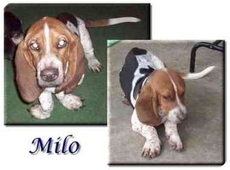 Basset Hound Puppy for adoption in Marietta, Georgia - Milo
