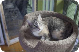 Domestic Shorthair Cat for adoption in Brooklyn, New York - Petunia