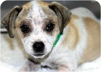 Beagle/Dachshund Mix Puppy for adoption in Los Angeles, California - Toney *VIDEO*