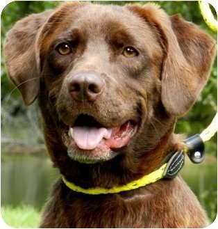 Labrador Retriever Dog for adoption in Wakefield, Rhode Island - LUANNE