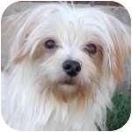 Maltese/Yorkie, Yorkshire Terrier Mix Dog for adoption in Wheaton, Illinois - Petey