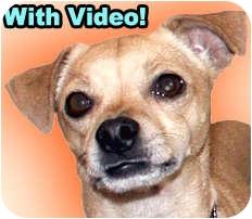 Chihuahua/Italian Greyhound Mix Dog for adoption in Dallas, Texas - Lenny