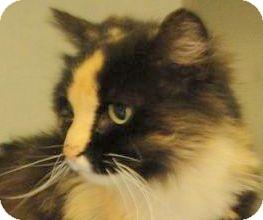 Domestic Mediumhair Cat for adoption in Brazil, Indiana - GYPSY