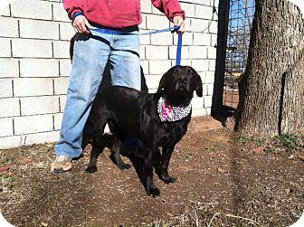 Labrador Retriever Mix Dog for adoption in Childress, Texas - Maise
