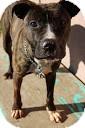 Boxer/Terrier (Unknown Type, Medium) Mix Dog for adoption in Tinton Falls, New Jersey - Mia