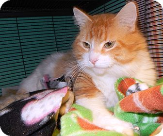 Domestic Longhair Cat for adoption in Midland, Michigan - Swizzle