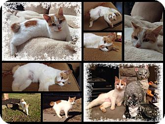 Manx Cat for adoption in Hagerstown, Maryland - Skittles