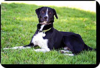 Border Collie/Labrador Retriever Mix Dog for adoption in Corning, California - Louie