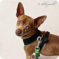 Adopt A Pet :: Snap - Gilbert, AZ