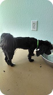 Maltese/Shih Tzu Mix Dog for adoption in Simi Valley, California - Polly