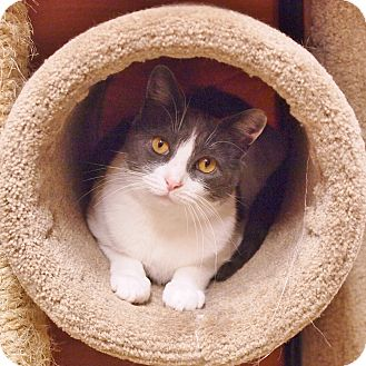 Domestic Mediumhair Cat for adoption in Ocean View, New Jersey - Mickey @ Petsmart-Somers Point