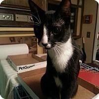 Adopt A Pet :: Mittens - Salem, OR