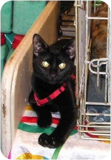 Domestic Shorthair Cat for adoption in Laurel, Maryland - Cutter